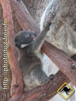 bebe_koala